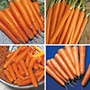 Carrot Cropping Programme