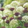 Allium atropurpureum & nigrum