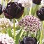 Allium Red Eye and Tulip Black Hero