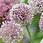 Allium Summer Drummer Flower Bulbs