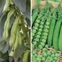 Broad Bean and Pea Seed Collection
