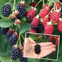 Blackberry Navaho