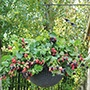 Blackberry Black Cascade Fruit Plants