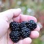 Blackberry Little Black Prince