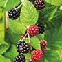 Blackberry Chester Fruit Plants
