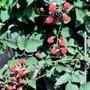 Blackberry TinyBlack Prince Fruit Plant