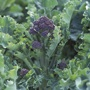Sprouting Broccoli Claret F1