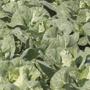 Cabbage Regency F1