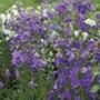Campanula perscifolia Blue