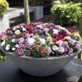 Patio Pot Carnation Flower Plant Collection