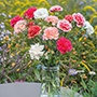 Carnation (Perpetual) Flower Plant Collection