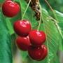 Cherry Stella AGM 1yr old maiden tree