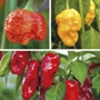 The World's Hottest Chilli Plant Collect