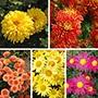 Chrysanthemum Garden Hardy Collection