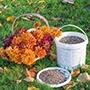 Chrysanthemum Plant Food