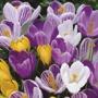 Crocus Large Flowered Bulbs