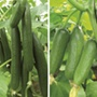 Grafted Cucumber Collection
