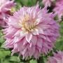 Dahlia Sir Alf Ramsey Flower Bulbs