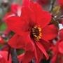 Dahlia Bishop of Llandaff Flower Bulbs