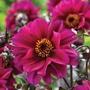 Dahlia Bishop of Canterbury Flower Bulbs