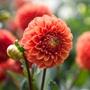 Dahlia Zundert Mystery Fox Flower Bulbs