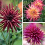 Cactus Dahlia Flower Bulb Collection