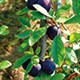 Damson Merryweather AGM 1yr old maiden tree