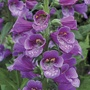Foxglove Dalmatian Purple Flower Plants