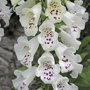 Foxglove Dalmatian White Flower Plants