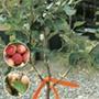Family Plum fruit tree