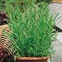 French Tarragon Herb Plants