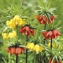 Fritillaria Flower Bulb Mix