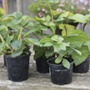 Fruit 9cm potted plants