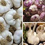 Long Harvest Garlic Bulb Collection