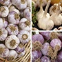 Autumn Planting Garlic Collection 1