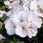 Geranium Zonal Designer White Young Plants