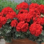 Geranium Zonal Designer Scarlet Young Plants