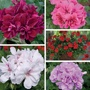 Geranium Trailing Flower Plants Collection