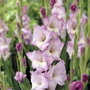 Gladiolus Belladonna Flower Bulbs