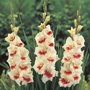 Gladiolus Mary Housley Flower Bulbs