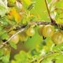 Gooseberry Hinnonmaki Yellow