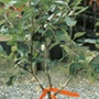 Grafted fruit tree