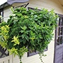 Herb Hanging Basket Collection