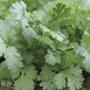 Coriander herb seeds