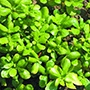 Golden Purslane Herb Plants