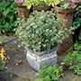 Thyme Foxley Herb Plants
