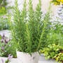 Thyme Plant Collection