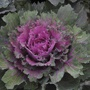 Buttonhole Kale Starmaker Vegetable Seed