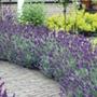 Lavender angustifolia Hidcote Plants