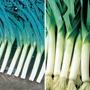 Leek Veg Plant Collection
